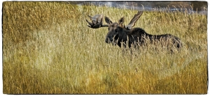 Taken in northern Alberta this moose was most interested in me at this point.