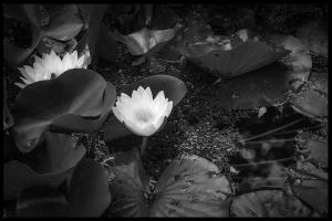 B&W Lilies
