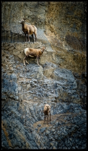 Three sheep vertical
