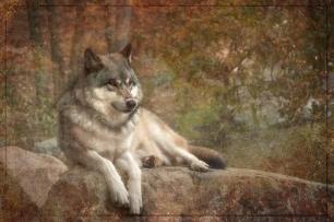 WOLF TEXTURED